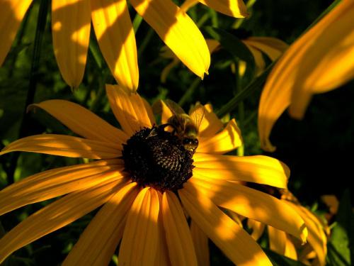 pszczoła w pracy #przyroda #pszczoły