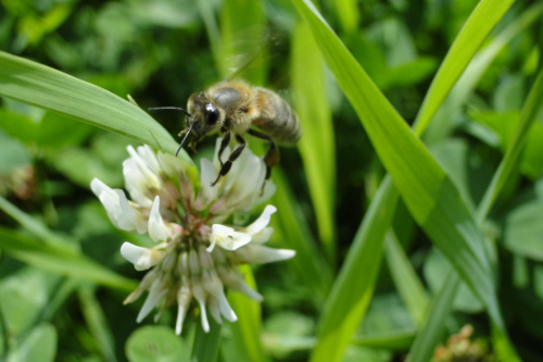 Pszczółka :) #Pszczoła #Przyroda #Zwierzęta #Owady