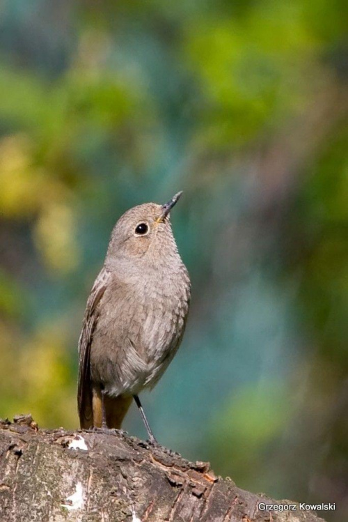 Samiczka kopciuszka #ptaki #kopciuszek #przyroda #natura