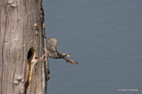 SZPAK #szpak #ptaki #przyroda #natura