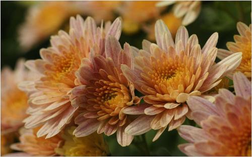 Chryzantemy #Makro #Kwiaty #Chryzantemy