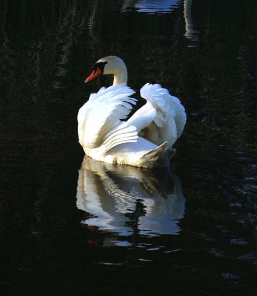 #łabądź #natura #ptak #rzeka
