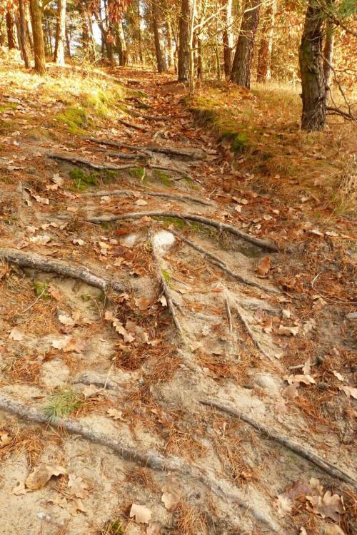 Leśne schody #BoryTucholskie