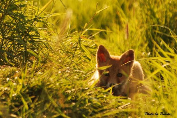 Moje pierwsze zdjęcia lisów #lis #łąka #zwierzęta