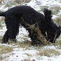 Om nom nom, traawa #boisko #Luna #łąka #pies #śnieg #zima
