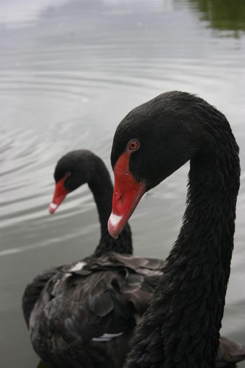 Czarny Labedz #PtakiNaturaZwierzeta