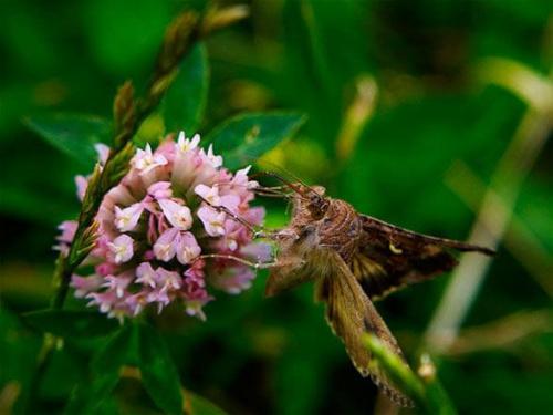 #motyl #owad #łąka #lato #makro #zapylać