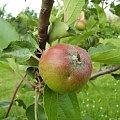 Jabłoń #owoc #natura #rosliny #kwiatki #roslinność #roslinnosc #macro #piękno #działka #dojrzewanie #rozkwit #lato #wiosna #ciepło #owoce #drzewka #ogród #ogrod #zbiory #plony #OwoceNatury #wieś #wioska