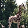 #żyrafa
