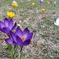 Pięknego i kolorowego przedświątecznego tygodnia :) #karpacz #krokusy #park #wiosna