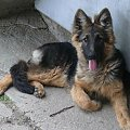 #owczarek #pies