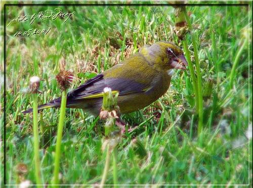 Dzwoniec (samczyk) Carduelis chloris. #dzwoniec #ptak #carduelis #chloris