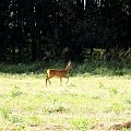 a tak jakoś wpadła w kadr.. wiem że zdjęcie nie za dobre ale cóż #sarna #zwierzę #las