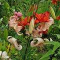 Lilie #KwiatyLata #lilie
