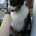 Znaleziono kota Knurów #adopcja #adopcje #Gliwice #kocięta #kot #kotki #koty #pomoc #przygarnę #schronisko #zaadoptuję #zwierzęta