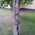 Pęknięta kora na magnolii #magnolia #kora #pęknięcie