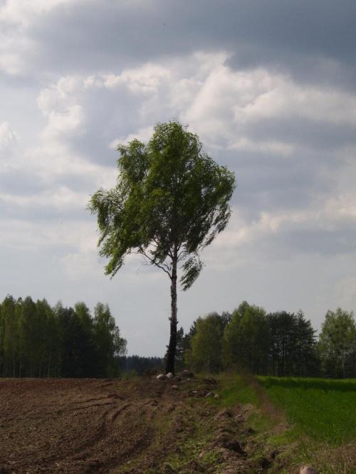 Samotnik #drzewo #pole #lato