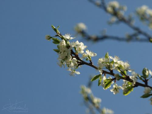 wiosna, 04.2009 [Olympus E-410, Zuiko Digital Tele 70-300 + filtr polaryzacyjny kołowy] #kwiat #wiosna #kwitnie #natura