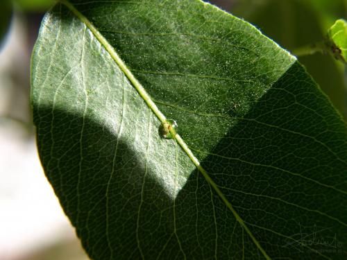 Pajączek w kropli rosy. [Olympus E-410, Zuiko Digital 14-42, soczewka makro +8Dioptrii] #pająk #pajączek #kropelka #rosa #rosy #natura #makro