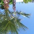 Cypr- Papfos #Cypr #Papfos #Palma #Egzotyka #Drzewa