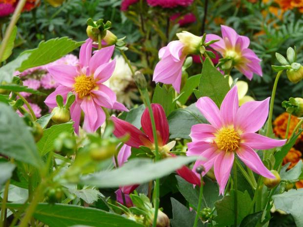 Różowo mi #kwiaty #ogród