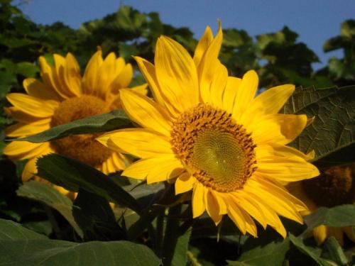 #kwiat #słońce #natura