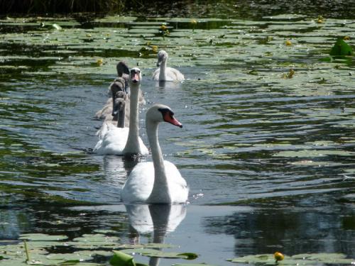 Łabedzia rodzina #Ptaki #przyroda #zwierzęta #natura