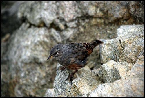 bardzo skoczny ptaszek na Rohatce 2288 m n.p.m. kurcze wcale się nie bał.