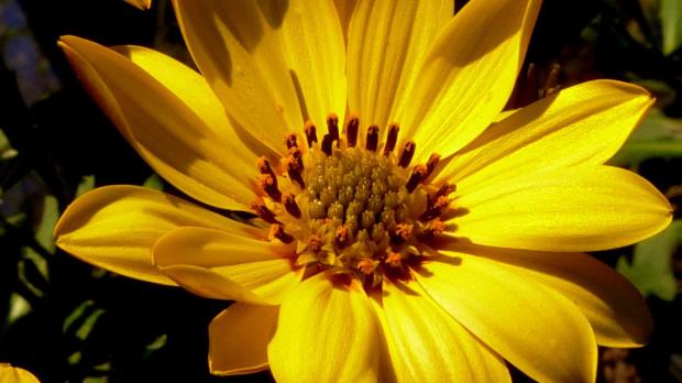Diformoteka czyli stokrotka afrykanska:) #kwiaty #ogrod #wiosna #slonce