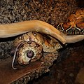 #snake #waz #boa #constrictor #pupil #gad #zoo #szczur #piotrkow #PiotrkowTryb