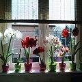 Amarylisy - niewielka część mojej kolekcji :o) #Amarylis #Hippeastrum #okno
