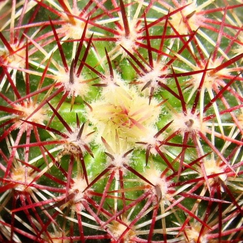 Echinocereus chloranthus