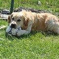 Od 2 do 4 lat. #GoldenRetriever #pies #piesek #zwierzęta