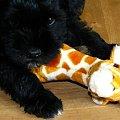 #sznaucer #sznaucerek #sznaucerki #szczeniak #puppy #schnauzer #szczeniaki #miniatura #miniaturka #miniaturowy #pies #piesek
