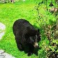 Niedźwiedź himalajski #niedźwiedź #himalajski #festeriusz