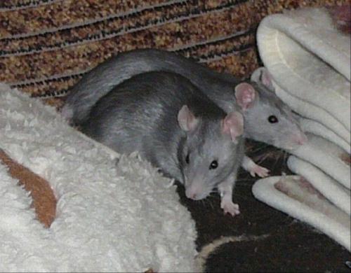#SzczurOgonSzczurek