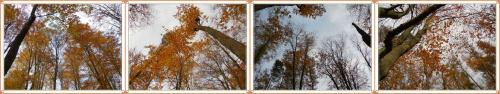 patrząc do góry...bukowe lasy nad jez.Otomino #jesień #las #buczyna #drzewa #GdańskOtomin