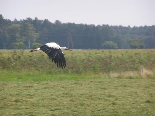 Bocian w locie. #lot #ptak #bocian #łąka