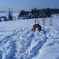 Szuka śnieżki ;D #melcia #melka #zima #pies #dog #suka #suczka #młody #szczeniak #mróz #snieg #zaspy #szalenstwo #szaleństwo #uszy #nos #piesek #gryzon #luty #piesio #owczarek #niemiecki #ogon #łapy #zabawa