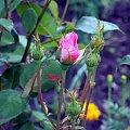 #krzew #róży