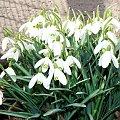 Wiosna zawitała na Południu Polski (^^) #wiosna #opolskie #slaskie #Śląskie #opole #katowice #Racibórz #przebiśniegi #krokusy #krokus