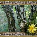 brzozy-początek jesieni #przeróbki #inaczej #brzozy #widok #PolnyKwiat