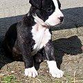 #pies #amstaf #mentor #zwierzaczki