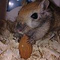 #gryzonie #myszoskoczek #skoczek #skoki