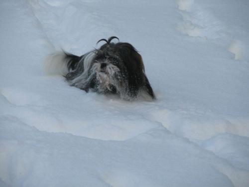 snieżny pies, Shih Tzu #psy #zwierzęta #szczeniaczki #ShihTzu
