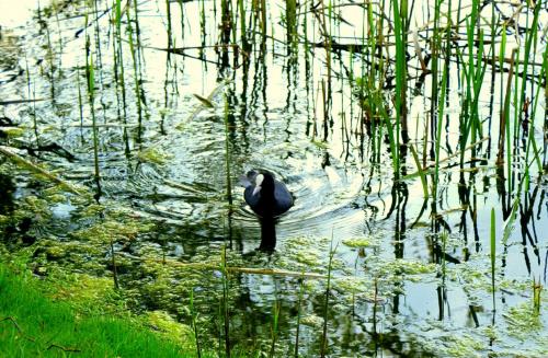 Łyska (Rodzina chruścielowatych) Jest ptakiem łownym i podlega ochronie od 22. 12 do 14. 08