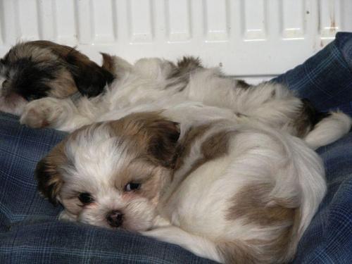 #Psy #ShihTzu #zwierzęta #szczeniaczki