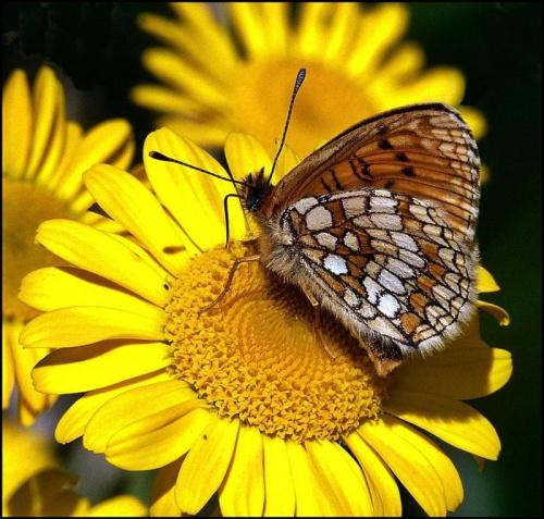 tez złowiłam motyla #makro