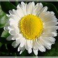 #kwiaty #ogród #stokrotki #wiosna