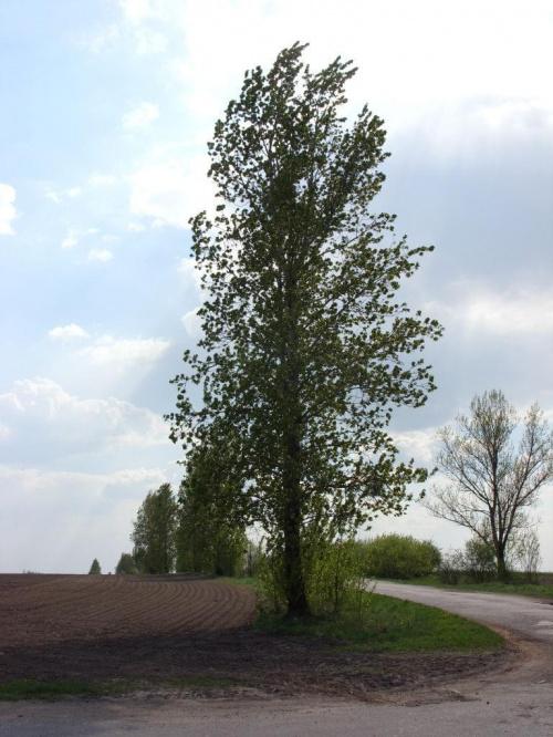 Foto: R.Kaczmarek - Sokolniki Wielkie 2011; wiosenny widok #GminaKaźmierz #PowiatSzamotulski #przyroda #osobliwości #SokolnikiWielkie #wieś #drzewa #roślinność #wiosna
